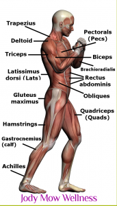 picture of human anatomy with muscles diagrammed.
